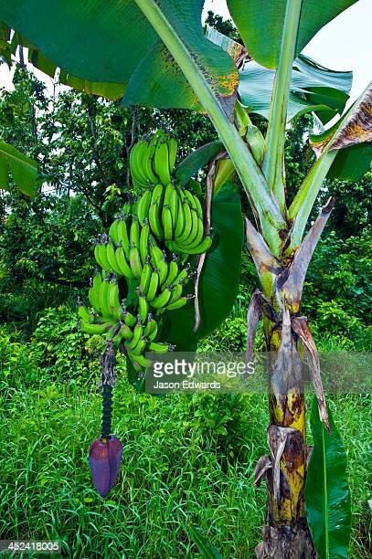 A bunch of bananas ripens on a tree above an enormous banana flower.