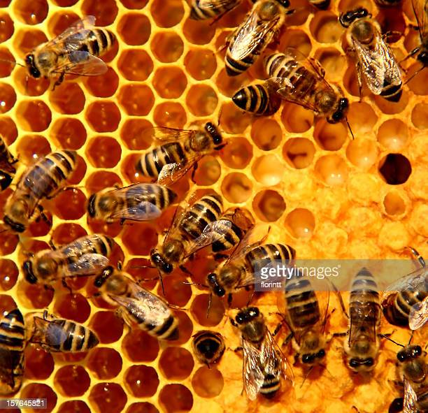 A bunch of bees on a honeycomb