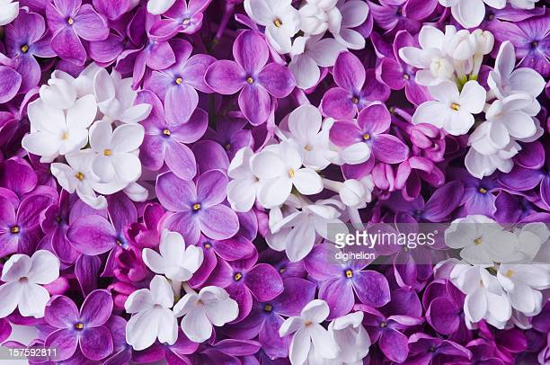 Bündel von blühenden Blumen Weiß und Lila Flieder