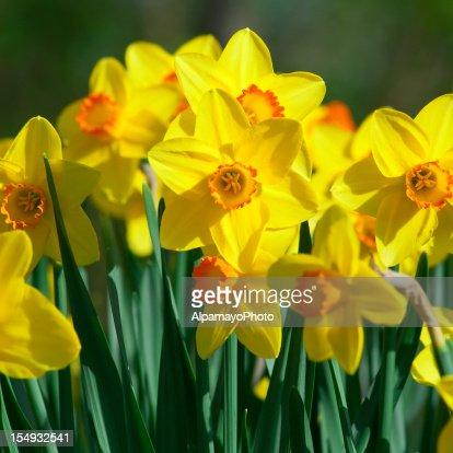 Bunch of daffodils, Narcissus 'Orangery' cultivar - II