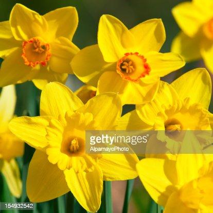 Bunch of daffodils, Narcissus 'Orangery' cultivar - V