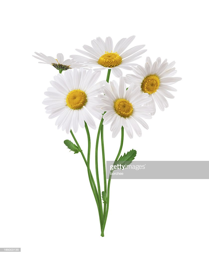 daisy stock photos and pictures getty images