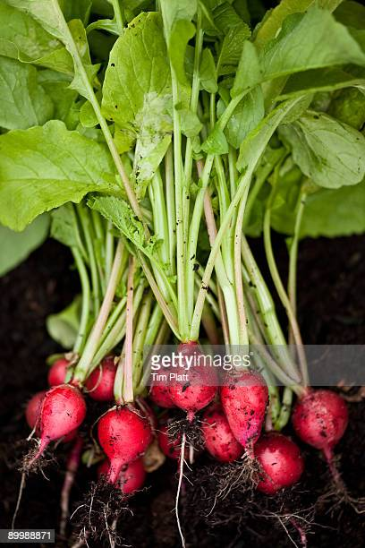 Bunch of freshly picked radishes.