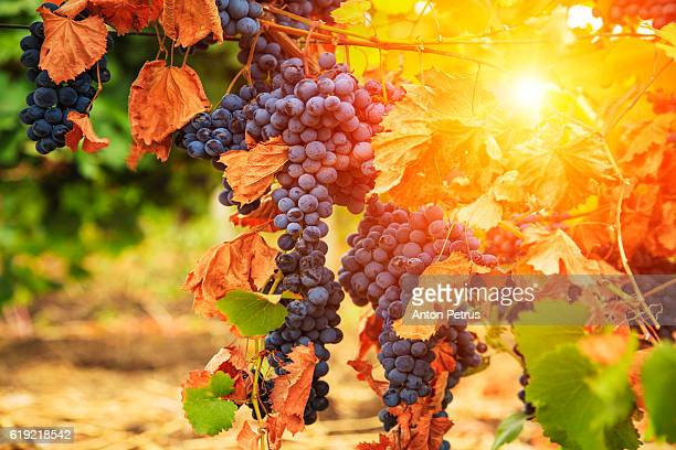 Bunch of grapes in autumn