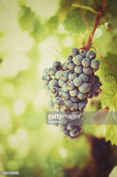 Racimo de uvas. Vintage estilo.