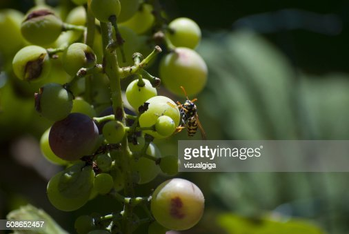 Bunch of grapes with wasp : Stock Photo