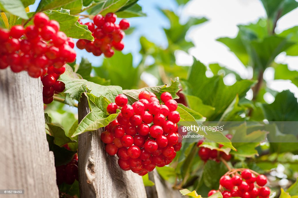 Bunch of guelder-rose(viburnum) berries on the blue sky backgrou : ストックフォト
