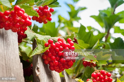 Bunch of guelder-rose(viburnum) berries on the blue sky backgrou : Photo