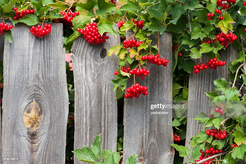Bunch of guelder-rose berries on wooden fence : Stock Photo