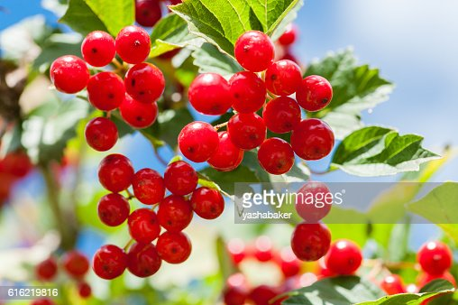 Bunch of guelder-rose berries outdoors : Stock-Foto