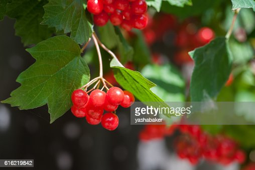 Bunch of guelder-rose berries outdoors : Stock Photo