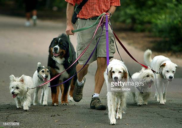 A bunch of happylooking dogs take their dogwalker for a stroll through the Boston Public Garden