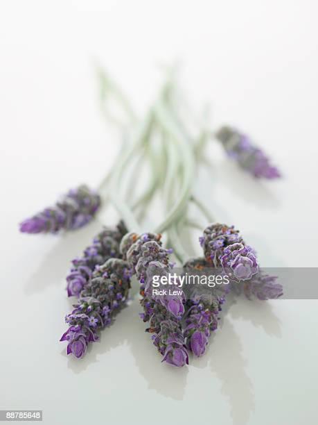 bunch of lavender flowers in studio