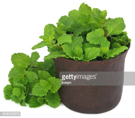 Bunch of mint leaves in a mortar : Bildbanksbilder