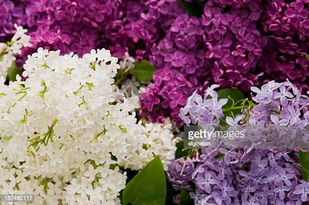 Bündel von gemischte Farbe Lila Blumen erblühen