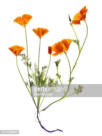 Bunch of Orange California Poppies on White