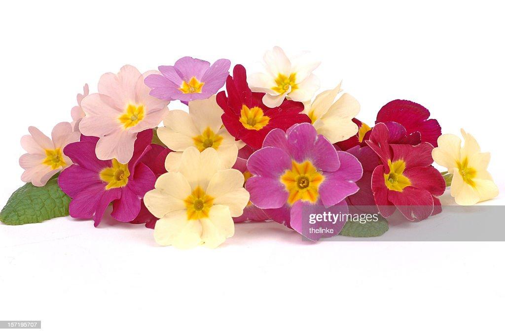 Bunch of primroses