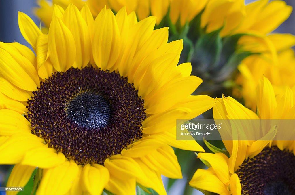 Bunch of sunflowers : Stock Photo