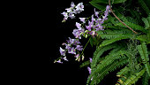 Bunch of tropical rainforest purple orchid flowers with green leaves Fishbone fern foliage plant bush and epiphyte Spanish moss growing on tree twig on black background.