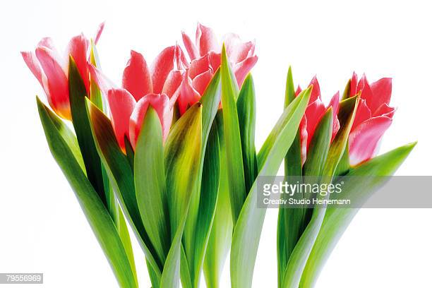 'Bunch of tulips, close-up'