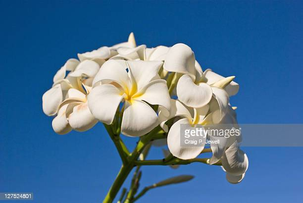 Bunch of white frangipani flowers and blue sky