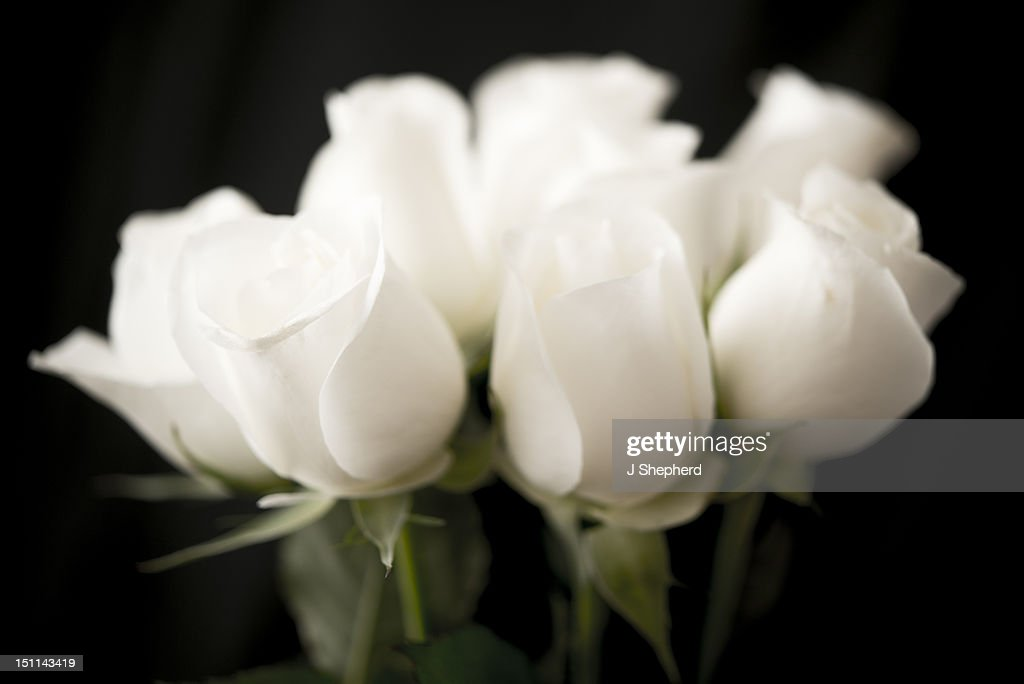 A bunch of white roses : Stock Photo