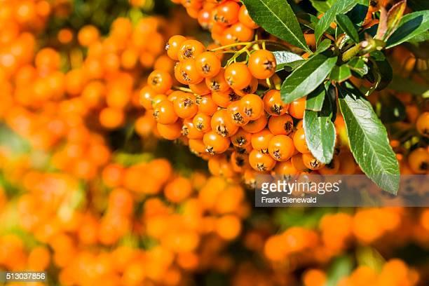 A bunch of yellow sea buckthorn berries