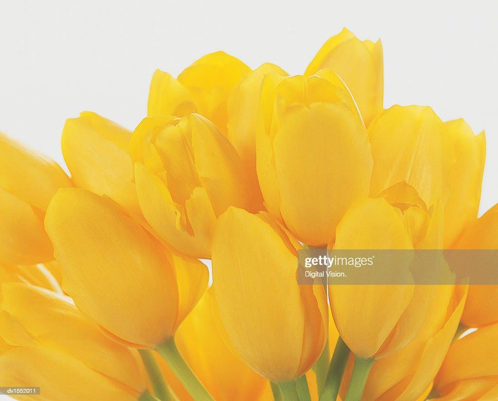 Bunch of Yellow Tulip Flower heads : Stock Photo