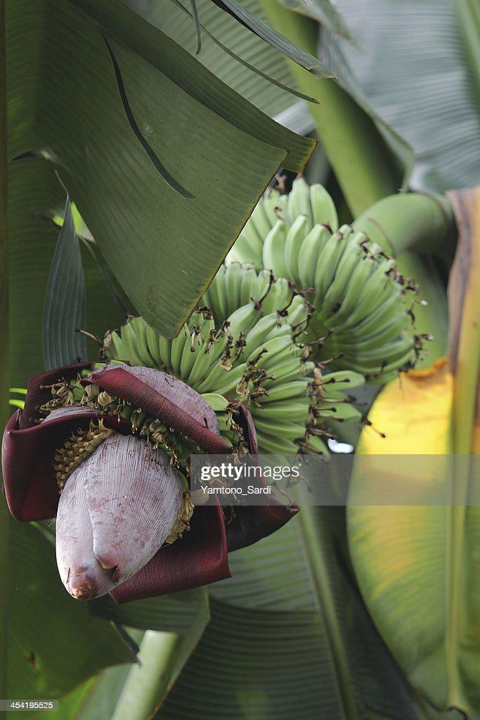 bunches de plátano : Foto de stock
