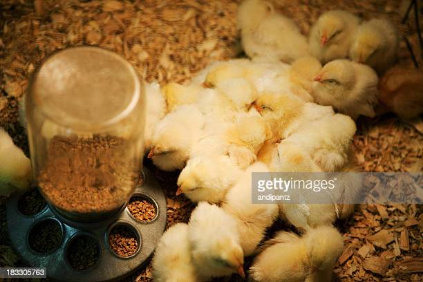 丸めの「chicks 」
