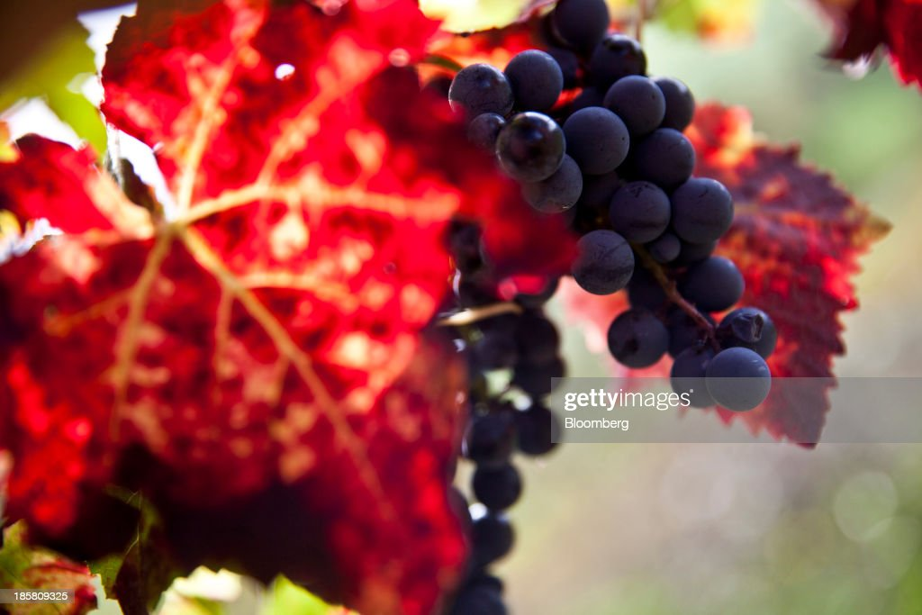 Bunches of fer servadou grapes hang from a vine at Jean-Luc Matha's vineyard in Clairvaux, France, on Thursday, Oct. 24, 2013. France's stocks of wine fell to the lowest in at least 12 years after the country's production plunged 19 percent last year, crop office FranceAgriMer said. Photographer: Balint Porneczi/Bloomberg via Getty Images