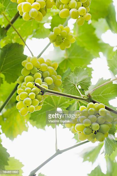 Bunches of ripe white grapes hanging from a vine