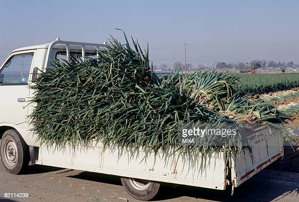 Bunches of spring onions on truck