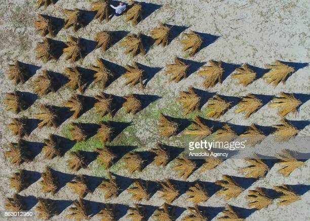 Bundles of sesames are seen during the harvesting season in Manavgat district of Antalya in Turkey on October 19 2017