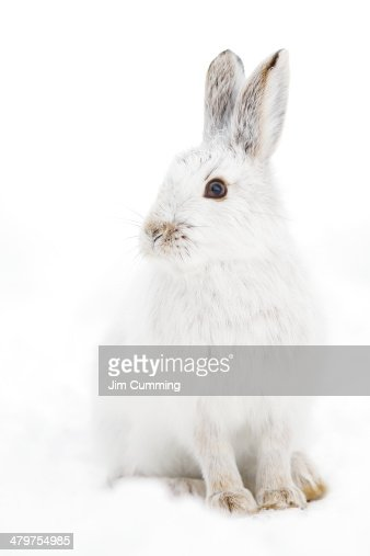 Bunny Pose - Snowshoe hare