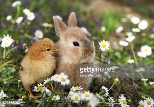 Bunny rabbit and chick are best friends : Stock Photo