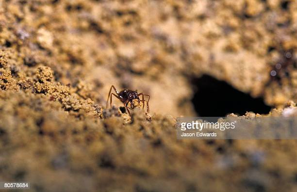 An Ant removing clay from the entrance of the burrow nest after rain.