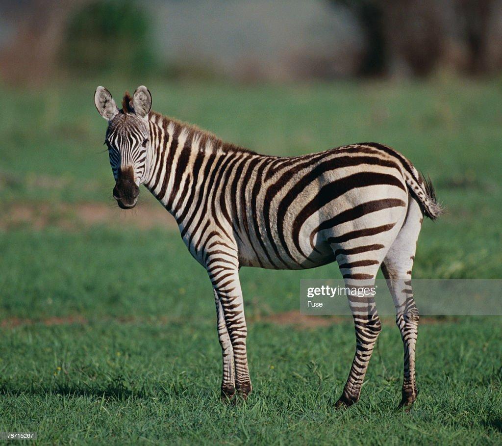Burchell s Zebra : Stock Photo