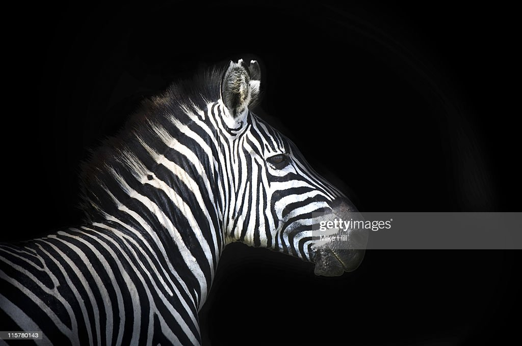 Burchell's Zebra against Black Background : Stock Photo