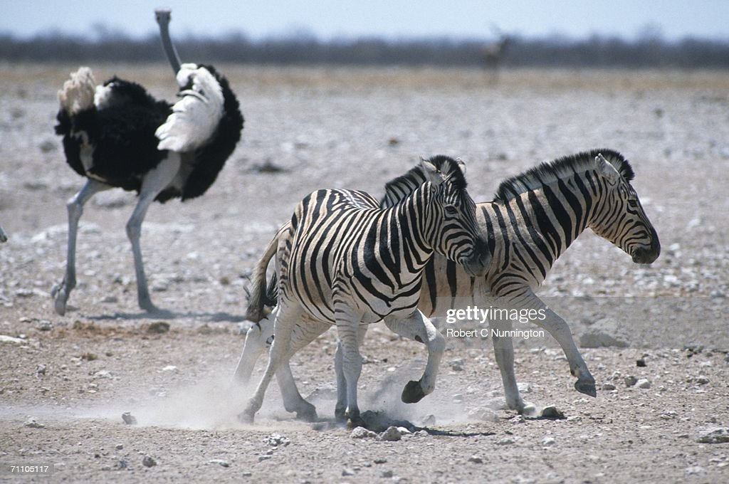 Burchell's Zebra (Equus burchellii) and Ostrich (Stuthio camelus) on Dry Plains