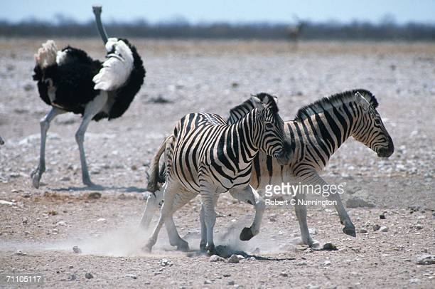 Burchell's Zebra (Equus burchellii) and Ostrich (Stuthio camelus) on Dry Plains
