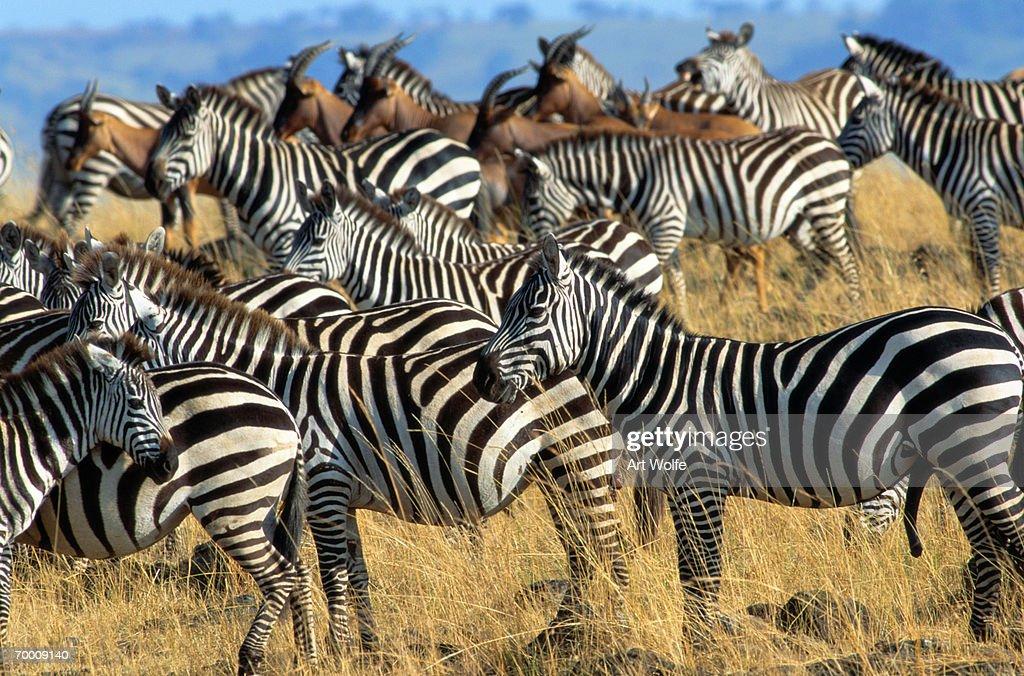 Burchell's zebra (Equus burchelli) and Topi (Damaliscus lunatus) : Stock Photo