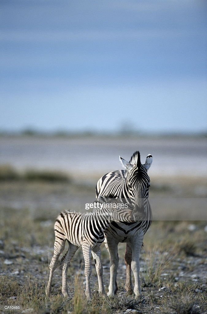 Burchell's Zebra (Equus burchelli) and young : Stock Photo