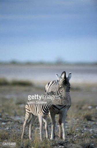 Burchell's Zebra (Equus burchelli) and young : Stock Photo