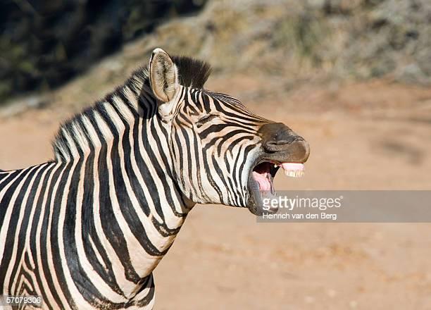 Burchell's Zebra (Equus burchellii) Calling in Bushveld
