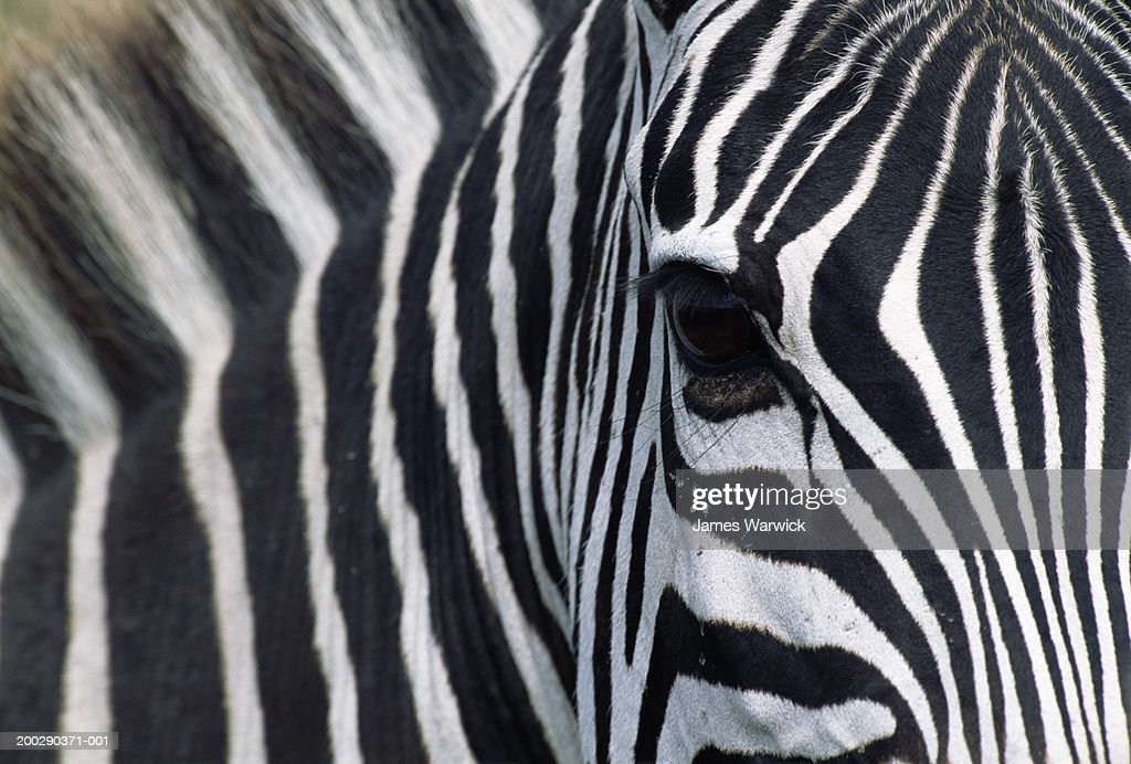 Burchell's zebra (Equus burchellii), close-up of face : Stock Photo