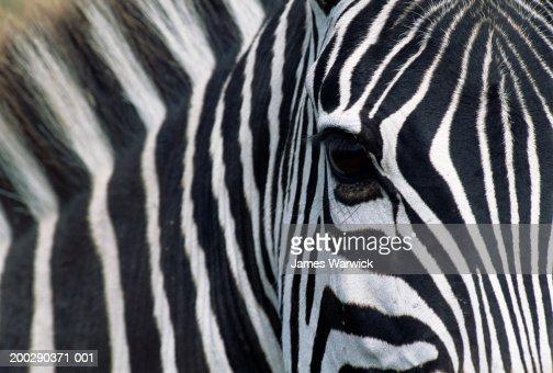 Burchell's zebra (Equus burchellii), close-up of face : Stock Photo