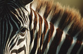 Burchell's zebra (Equus burchelli), close-up