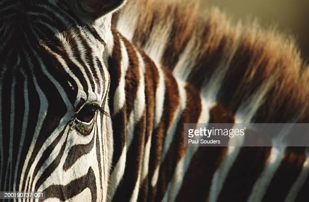 Burchell's zebra (Equus burchelli), close-up