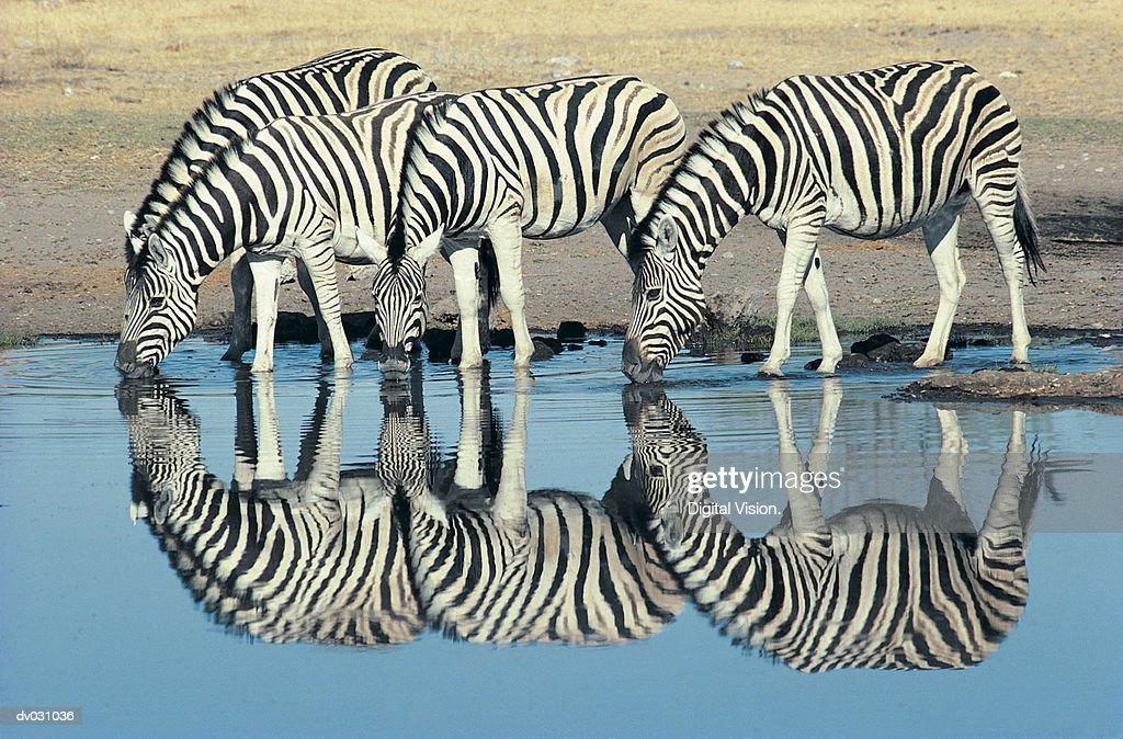 Burchells Zebra (Equus burchelli) drinking at waterhole, Etosha, Namibia